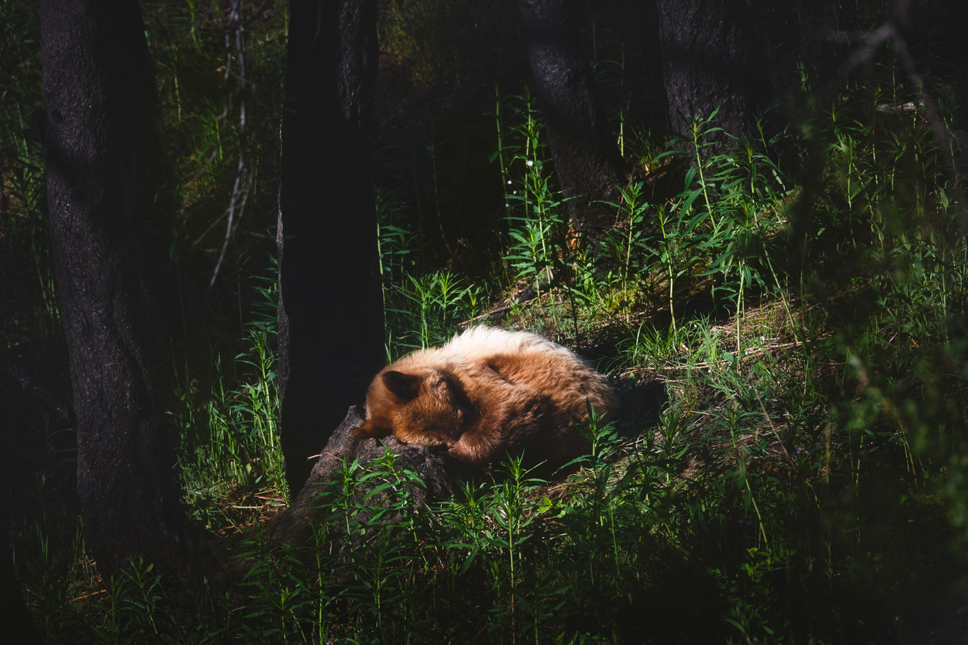 A bear sleeps with its paw over its nose in a forest
