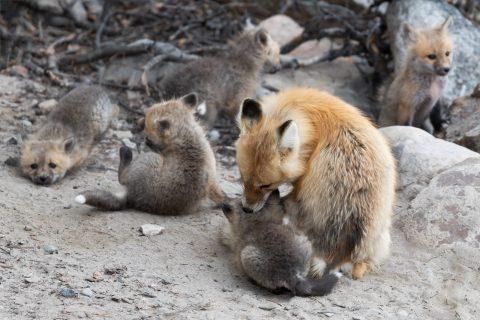 A fox vixen with five kits