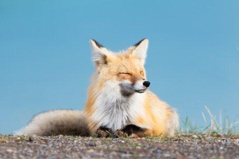 A fox suns herself at lakeshore