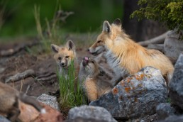 A fox and two kits licking noses