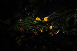 Gold aspen leaves cradled in pine branches David Thompson Country