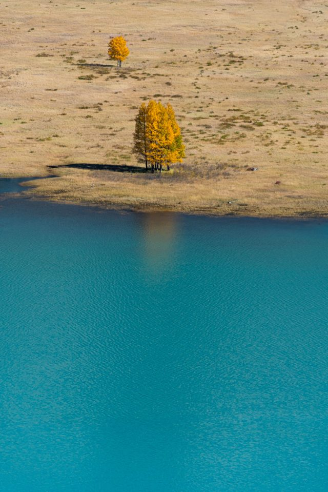 Golden trees stand at the shore of teal coloured Abraham Lake