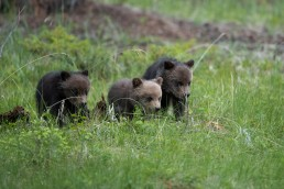 Three grizzly cubs getting ready to run