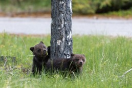 Two grizzly cubs around a tree eating grass and flowers