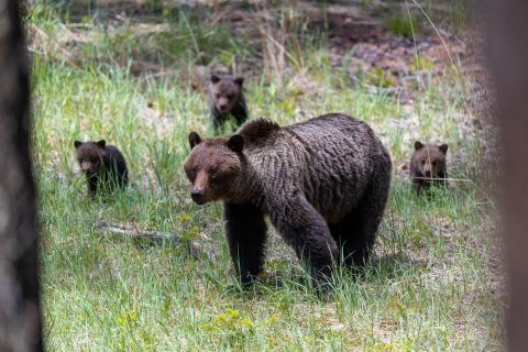 A grizzly sow and three cubs walking through a forest in Jasper