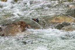 Harlequin duck riding through rapids in Jasper National Park