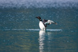 Loon rearing up in the water with wings spread
