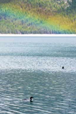 Two loons swim in Lake Minnewanka with a rainbow above