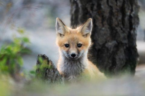 A fox kit portrait