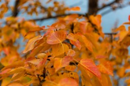 Orange leaves on a tree inf ront of abraham lake