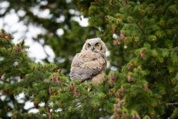 A fledgling owl peers out from a pine tree