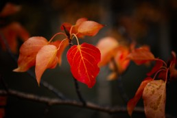 Close up of red leaves on a branch