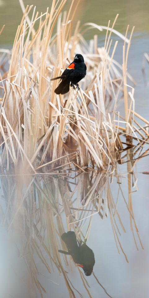 Red wing black bird sitting dried grass, reflecting in water