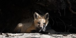 A fox kit sits in shadows and sun in front of a den