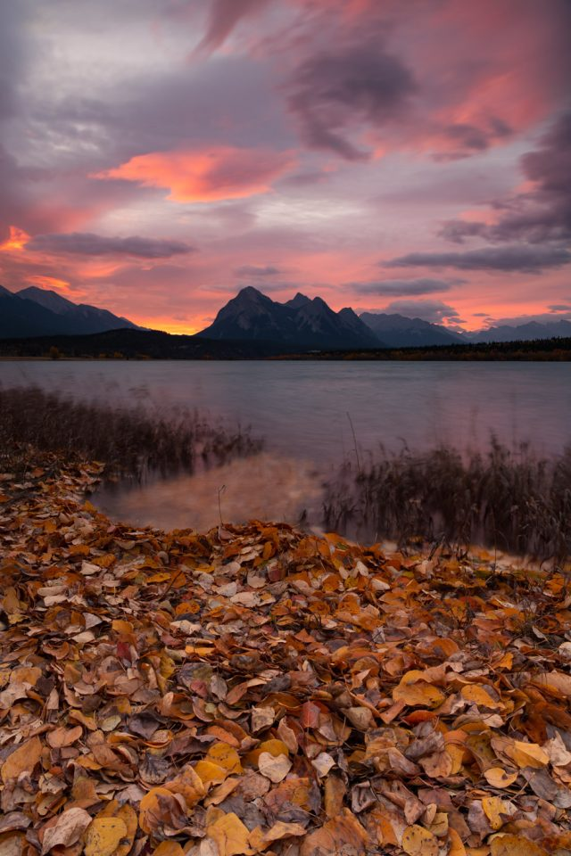 Piles of leaves on a shore line during pink sunrise at Abraham Lake