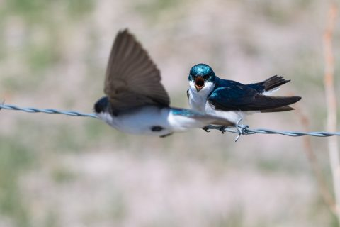 A tree swallow appears to scream as another flies by