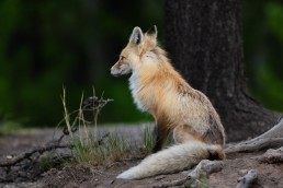 A vixen fox sits in front a tree in a forest
