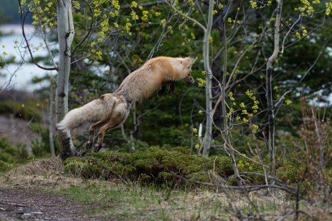 Fox vixen pounces high for prey in Banff National Park