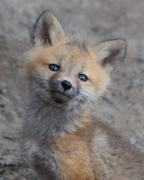 A fox kit face looking into the camera
