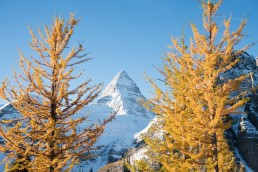 Snow capped Mount Assiniboine framed between two yellow larches