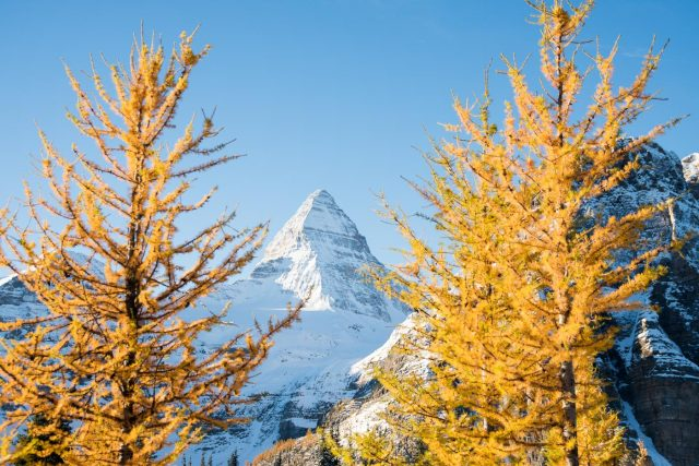 Snow covered Mount Assiniboine framed by two golden larches