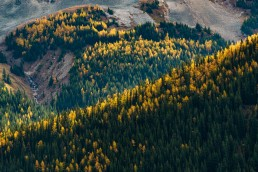 Larches and pine trees lit up by the sun on a Mountain Ridge in Kananaskis