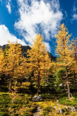 Golden larches standing tall under a blue sky in Lake O'hara